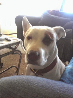 Safe Pit Bull in Springfield, MO US