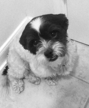 Safe Shih Tzu in Houston, TX US
