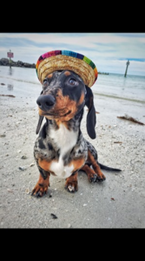 Safe Dachshund in Sarasota, FL US