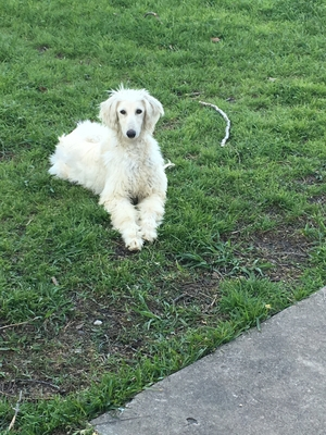 Safe Afghan Hound in Arlington, TX US