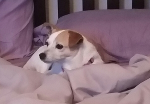 Safe Jack Russell Terrier in Nashville, TN US
