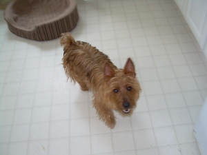 Safe Australian Terrier in Mount Holly, NJ US