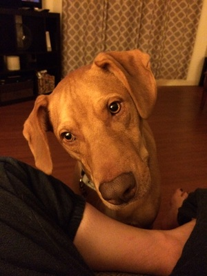 Safe Redbone Coonhound in Lewisberry, PA US