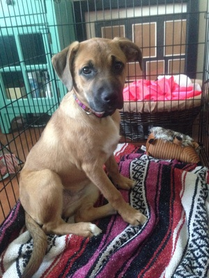 Safe Black Mouth Cur in Lewisberry, PA US