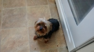 Safe Yorkshire Terrier in Twentynine Palms, CA US