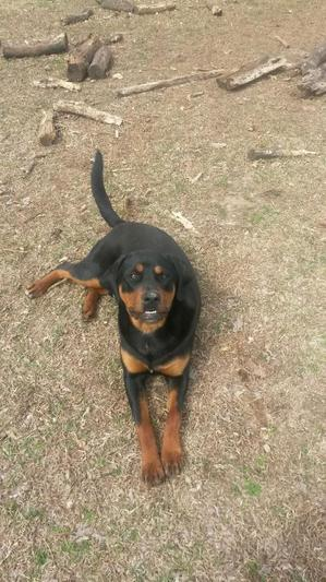 Safe Rottweiler in Claremore, OK US