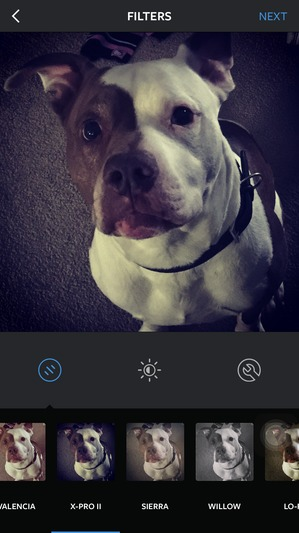 Safe Pit Bull in Lancaster, PA US