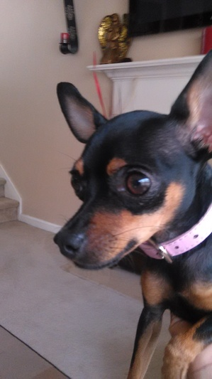 Safe Chihuahua in Dallas, GA US