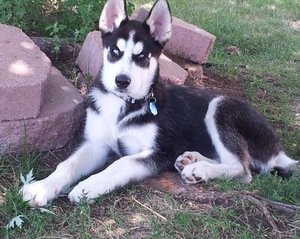 Safe Siberian Husky in Brighton, CO US
