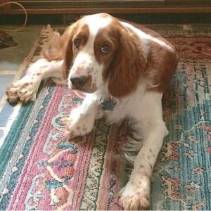 Safe Welsh Springer Spaniel in King of Prussia, PA US