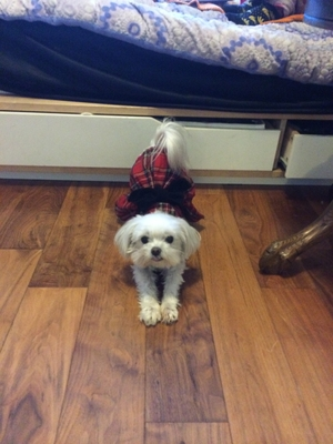 Safe Maltese in Rowland Heights, CA US