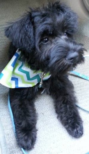 Safe Miniature Schnauzer in San Antonio, TX US