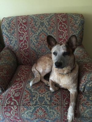 Safe Australian Cattle Dog in Hartford, CT US