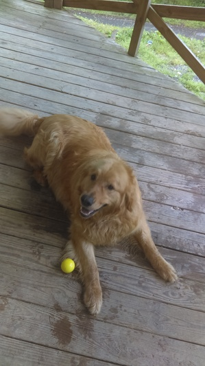 Safe Golden Retriever in Murphy, NC US