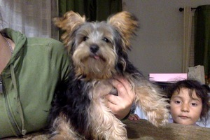 Safe Yorkshire Terrier in Oakland, CA US