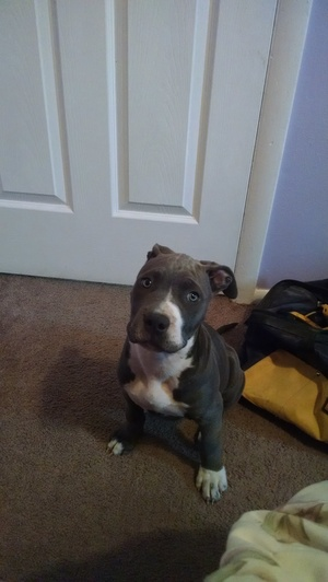 Safe Pit Bull in Broomfield, CO US