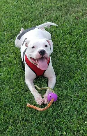 Safe American Bulldog in Orlando, FL US