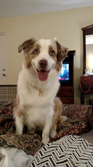 Safe Australian Shepherd in Berryville, VA US