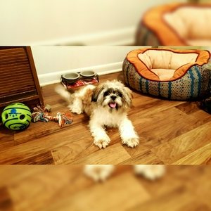 Safe Shih Tzu in Cincinnati, OH US