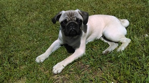 Safe Pug in Interlochen, MI US