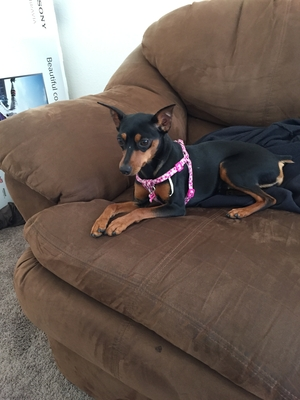 Safe Miniature Pinscher in Chula Vista, CA US