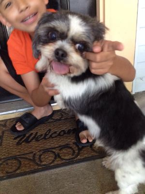 Safe Shih Tzu in Indianapolis, IN US