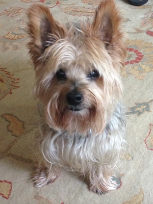 Safe Yorkshire Terrier in Franklin, TN US