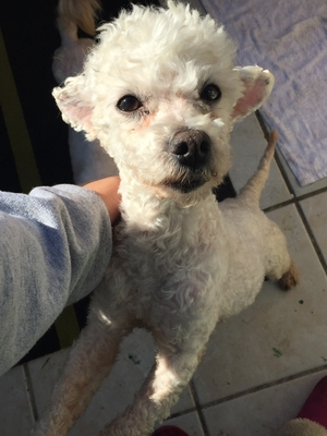 Safe Poodle in Oakland, CA US