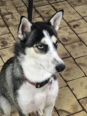 Safe Siberian Husky in Miami, FL US