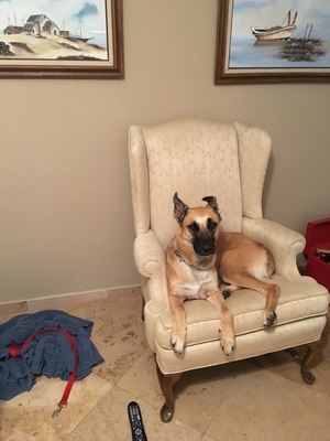 Safe Belgian Malinois in Tempe, AZ US