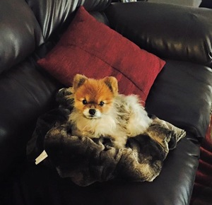 Safe Pomeranian in San Tan Valley, AZ US