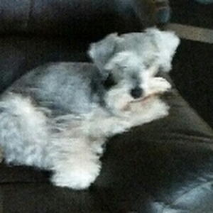 Safe Miniature Schnauzer in Brighton, MI US