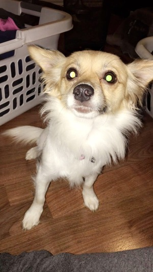 Safe Chihuahua in Dallas, TX US