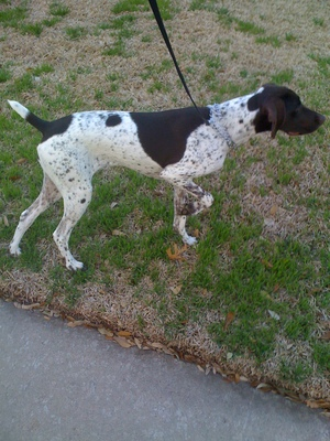 Safe German Shorthaired Pointer in Plano, TX US