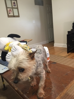 Lost Yorkshire Terrier in Bridgeport, CT US