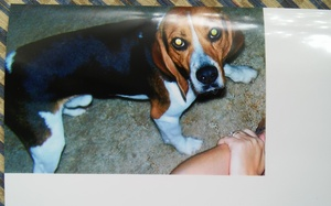 Safe Beagle in Spring Hill, FL US