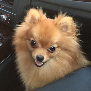 Safe Pomeranian in Houston, TX US