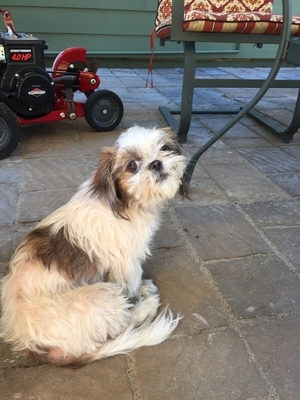 Safe Shih Tzu in Kent, WA US