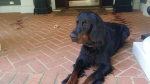 Lost Gordon Setter in Greensboro, GA US