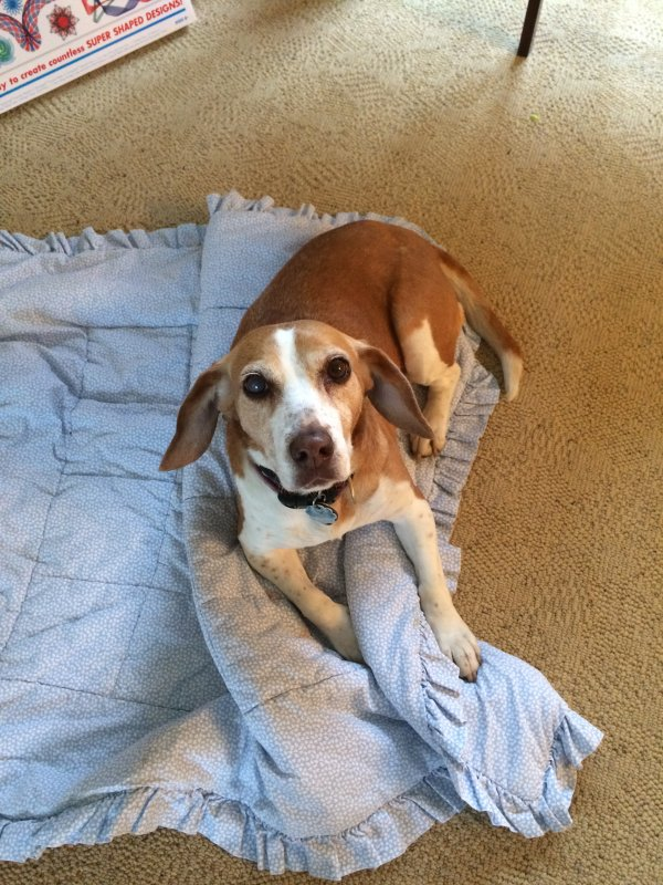 Safe Beagle in Cuyahoga Falls, OH US