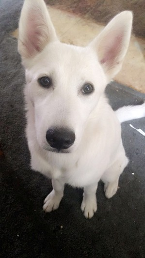 Safe Siberian Husky in Denver, CO US