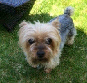 Stolen Yorkshire Terrier in Brooklyn, NY US