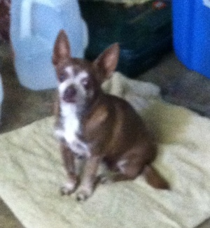 Safe Chihuahua in Mesa, AZ US