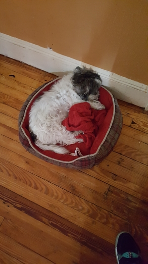 Safe Maltese in Rosedale, NY US