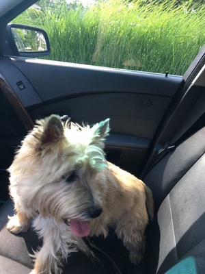 Safe Cairn Terrier in Annapolis, MD US