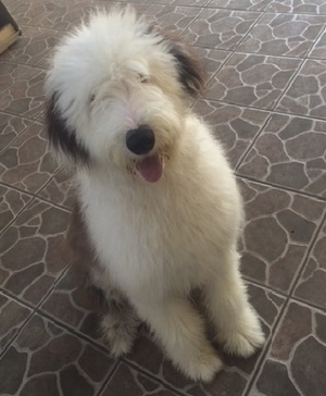 Safe Old English Sheepdog in Torrance, CA US