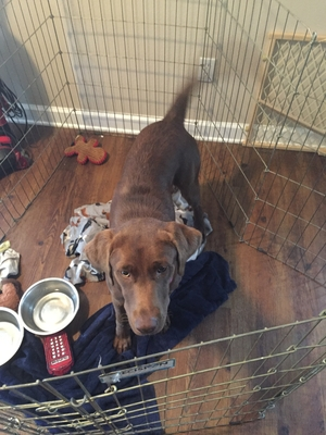 Chesapeake Bay Retriever Jacksonville Fl Found Labrador Retriev...