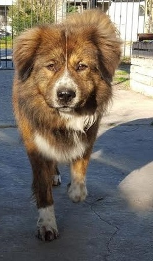Safe Chow Chow in Houston, TX US