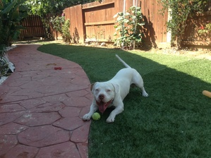 Safe American Bulldog in Pittsburg, CA US