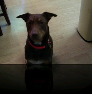 Safe Doberman Pinscher in Martinez, CA US